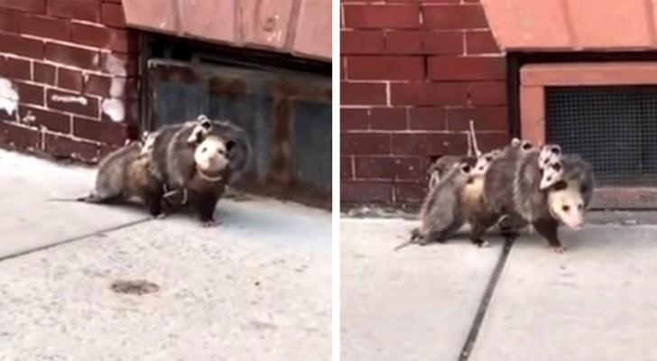 La vidéo de cet opossum montre que l'amour d'une mère est plus grand que n'importe quoi.