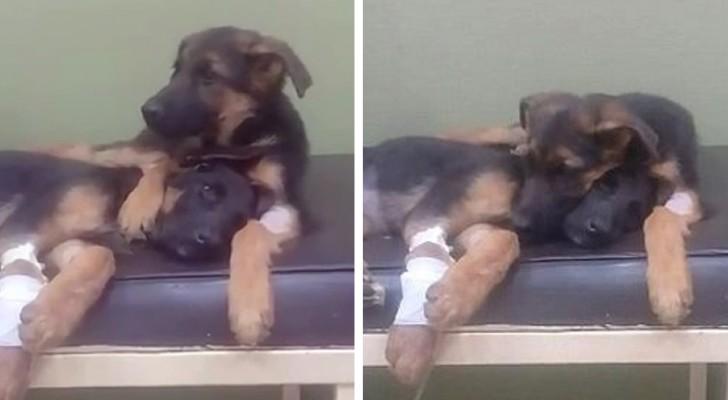 Ein Welpe weigert sich, die kranke Schwester dem Tierarzt zu überlassen