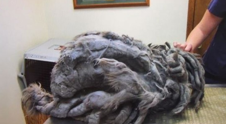 A mass of hair is left in front of an animal shelter but after shearing, it reveals its beauty