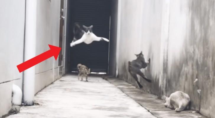 Godetevi le spettacolari mosse ninja con cui questo gatto riesce a sfuggire agli altri tre mici