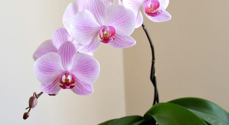 L'orchidée purifie l'air de la maison et rétablit l'équilibre : voilà tous les secrets de cette plante.