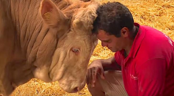 Il toro è stato in gabbia per tutta la vita: la sua reazione quando viene liberato vi toccherà nel profondo del cuore