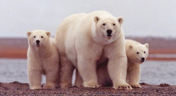 Gli zoologi americani hanno scoperto una nuova popolazione di 3 mila orsi polari in ottima salute