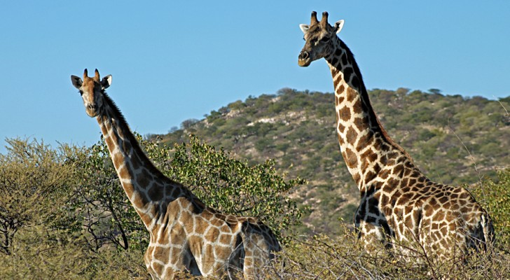 La giraffa è stata ufficialmente inserita nella lista rossa degli animali a rischio di estinzione