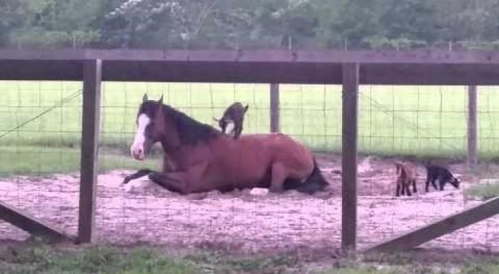 As cabrinhas e o cavalo paciente