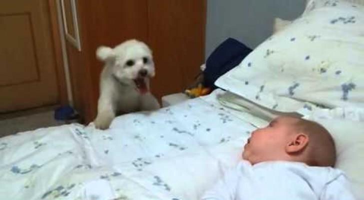 O cachorrinho que dá mais de 50 pulos para estar com sua amiguinha na cama