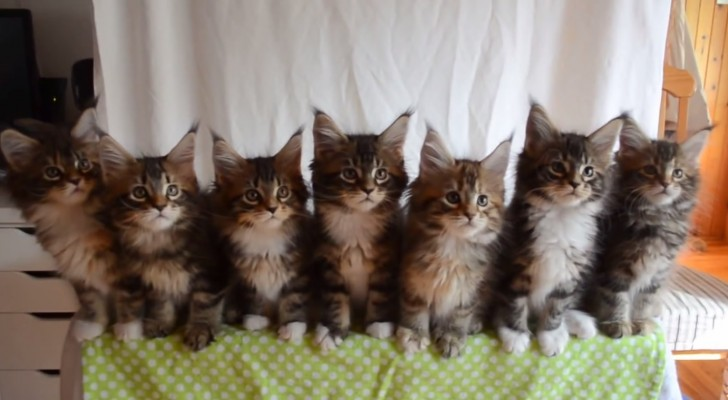 Sete gatinhos sincronizados