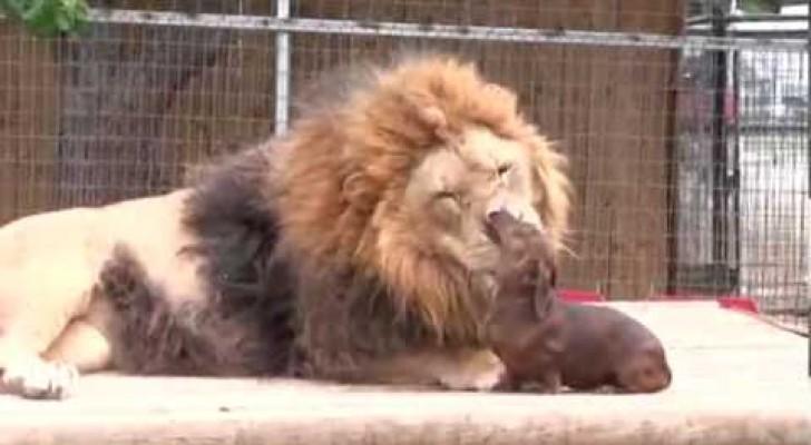 Der Zahnarzt des Löwen