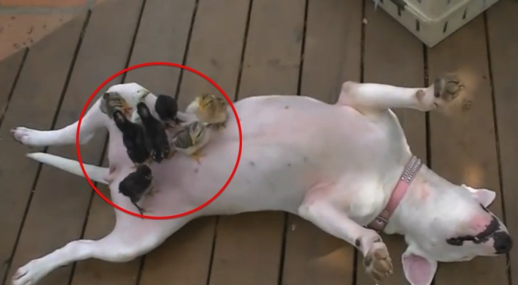Here's what happens when mother hen is a bull terrier