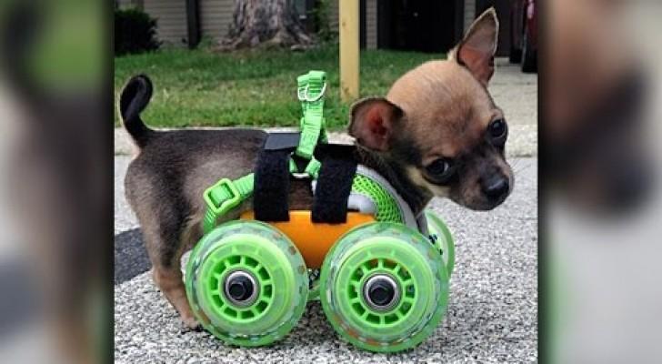 Este perro nacio sin sus dos patitas, pero el amor de la patrona realiza un pequeño milagro