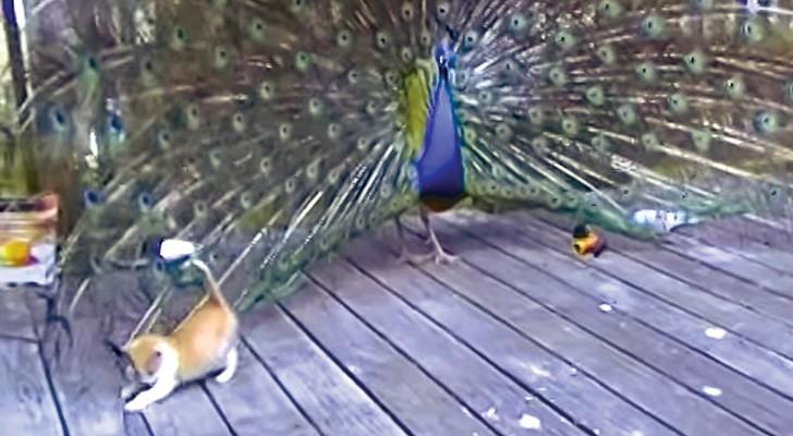 Um pavão chega na varanda: olha como o gatinho reage...