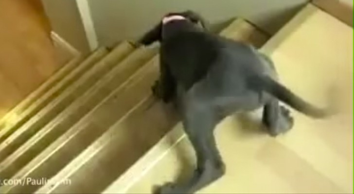 Nada es mas divertido que el duelo entre los cachorros y las escaleras!
