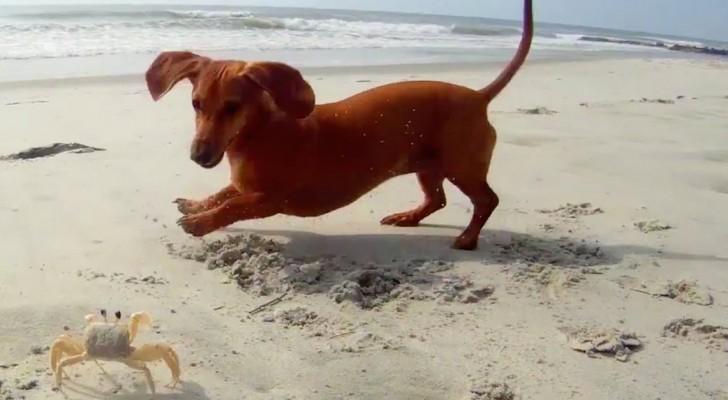 Ein Dackel möchte spielen, doch sein Freund hat einfach mal gar keine Lust!