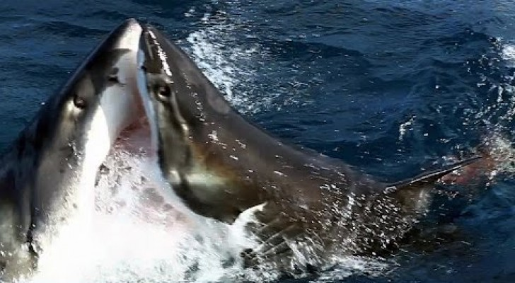 A camera filmes a very rare behavior between great white sharks !!