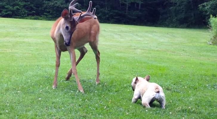 Um cervo entra no jardim, mas este pequeno bulldog não tem medo de nada!
