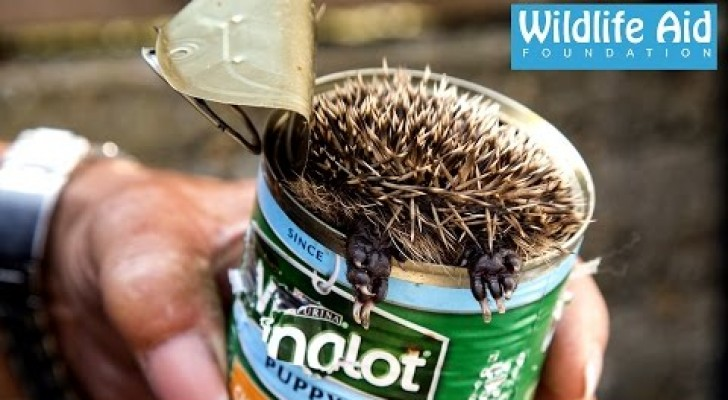 They could hear noises in the garden: a cute baby hedgehog was stuck in a can !