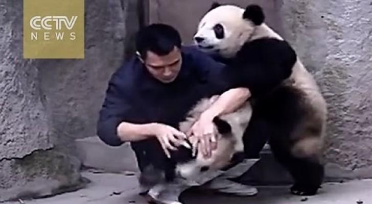 Este cara tenta dar um remédio a estes dois pandas, mas eles não estão muito a fim...