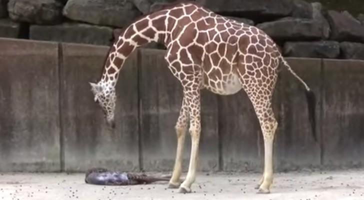 Estos visitadores han tenido la maravillosa fortuna de asistir al milagro de mama jirafa...