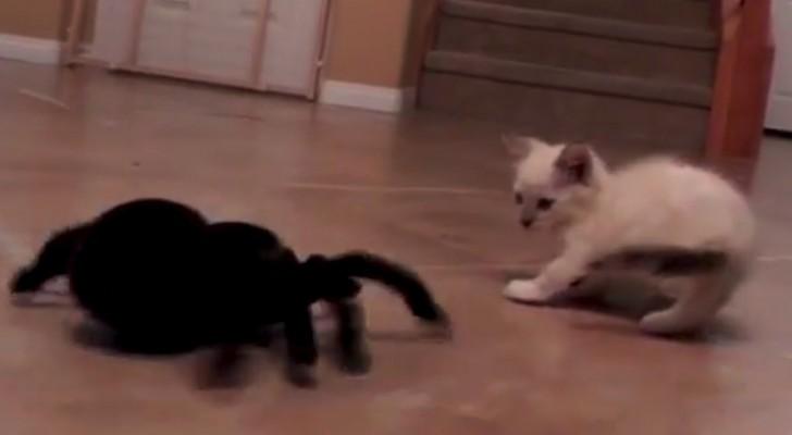 Una gattina contro un ragno meccanico: non perdetevi questo scontro esilarante