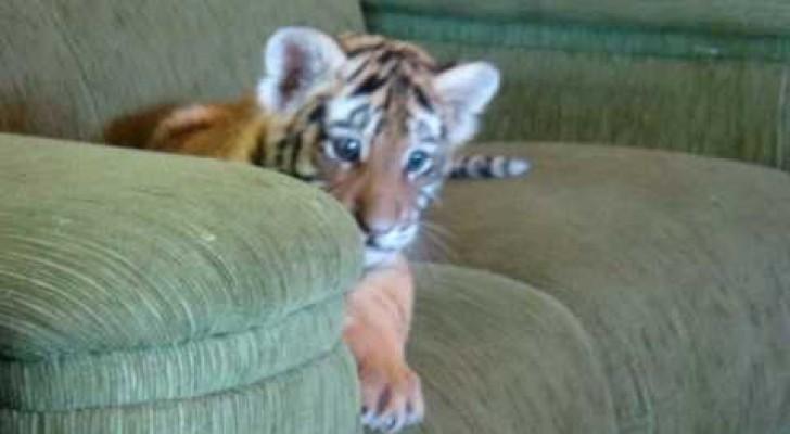 Tigre gioca con il chihuahua