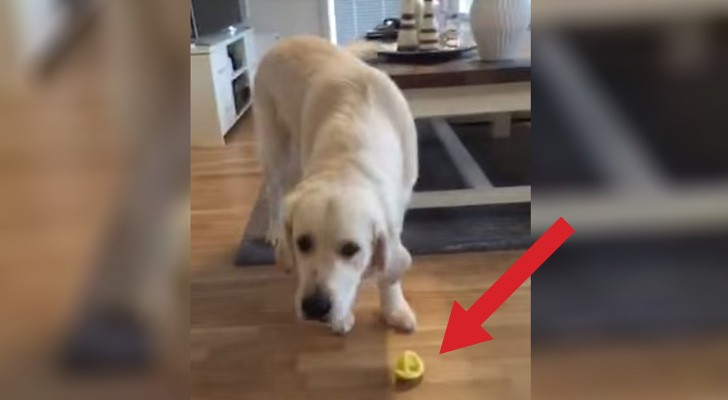 A dog accidentally bites a lemon. Its reaction ? It will you die laughing