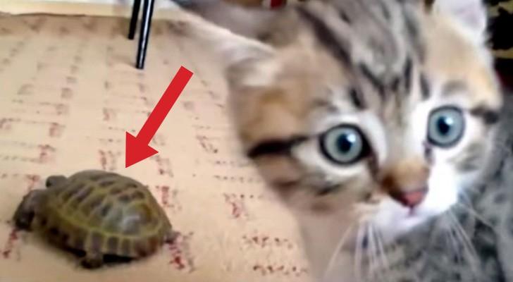 När den nya inneboende, en sköldpadda, flyttar in vet inte katten hur den ska regaera!