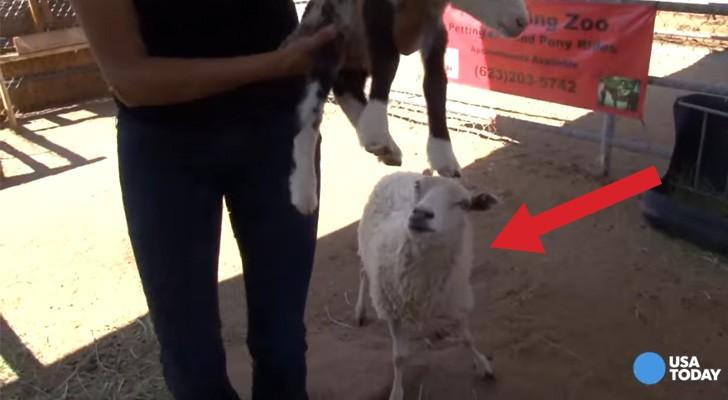 Als haar schaap bevalt, beseft ze dat ze getuige is van een bijzondere gebeurtenis!