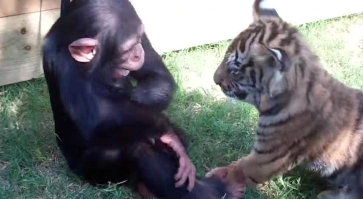 Una mona, 2 tigres y un lobo: esta es la lucha mas espectacular que jamas han visto!