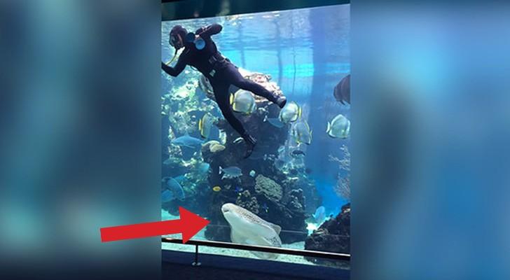 Um mergulhador está lavando o vidro do aquário, veja o que acontece quando chega o tubarão...