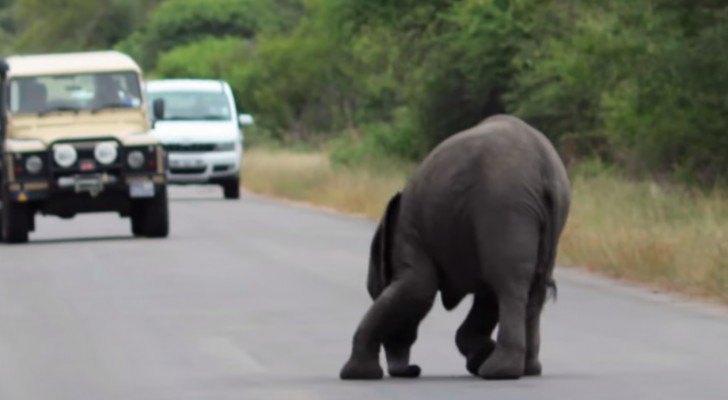 An elephant collapses in the middle of the street: the reaction of his family is just AMAZING !