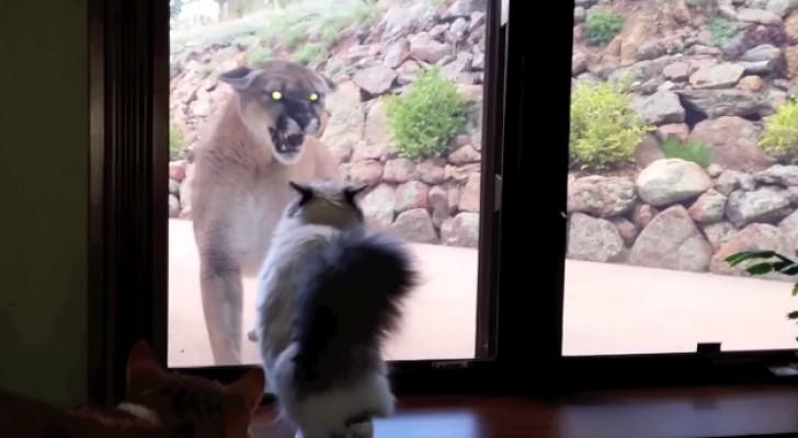 Un puma si avvicina alla casa di questa famiglia: la reazione del gatto non ha prezzo