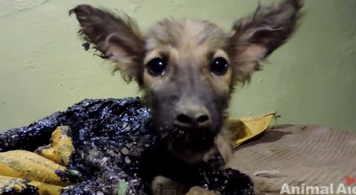 This poor puppy was covered in tar, but look how they save him ... !