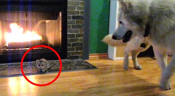 Ils ramènent à la maison un minuscule chaton... mais la première rencontre avec le chien prend une tournure inattendue!