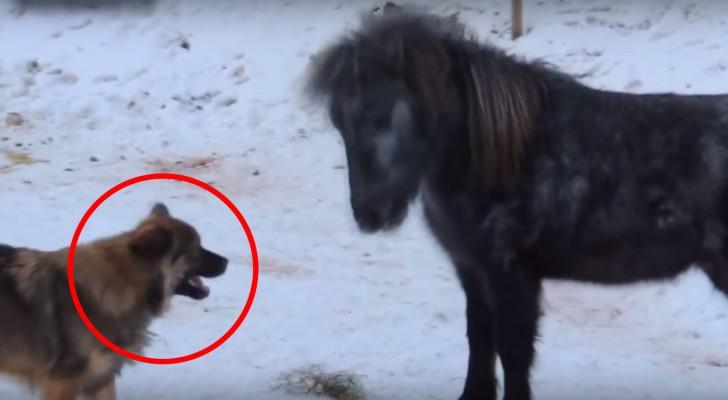 Quando o cachorro chega perto dele, o que faz este cavalo não tem preço!