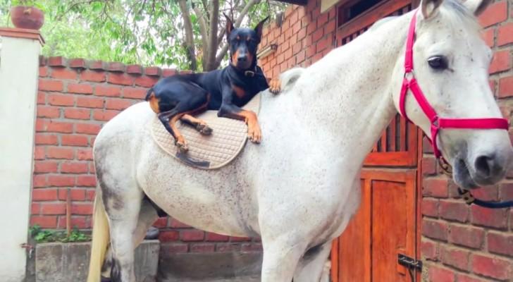 Lo llaman el perro que susurra a los caballos: viendo este video entenderan porque!