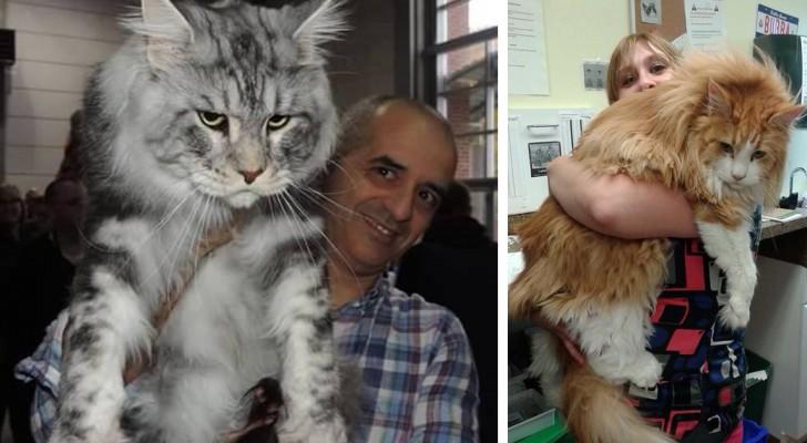 Dit is de grootste huiskat ter wereld ontdek de geschiedenis en geheimen van deze katten - Lamppost huizen van de wereld ...