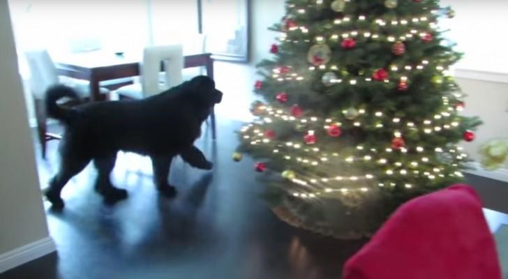 El perro terranova gira por la casa: este es su escondite mas adorable de siempre