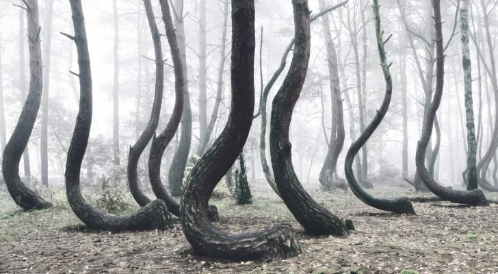 Nessuno è riuscito ancora a svelare il mistero di questa curiosa foresta Storta