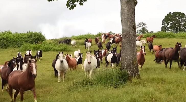 200 cavalli vengono riportati in libertà... Vedere queste immagini è emozione pura
