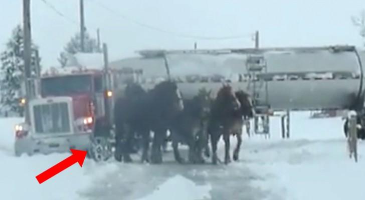 4 cavalos enormes estão em fila na frente de um caminhão: a força deles é inacreditável!