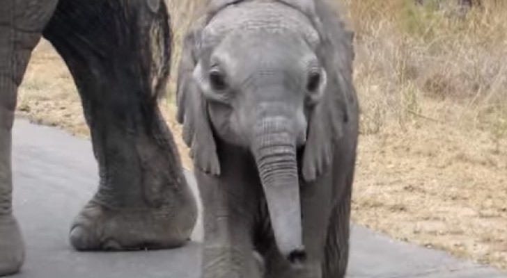 A baby elephant approaches some tourists ... The gesture of its mother will surprise you!