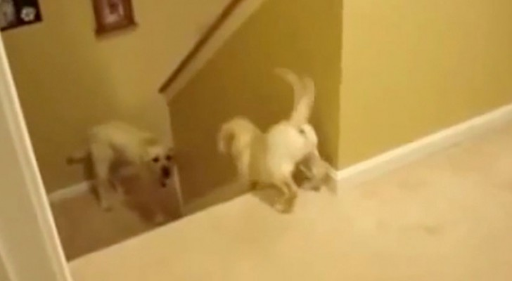 Papà perro ayuda al cachorro a bajar las escaleras. Pero cuando vean el gato moriran de la risa!