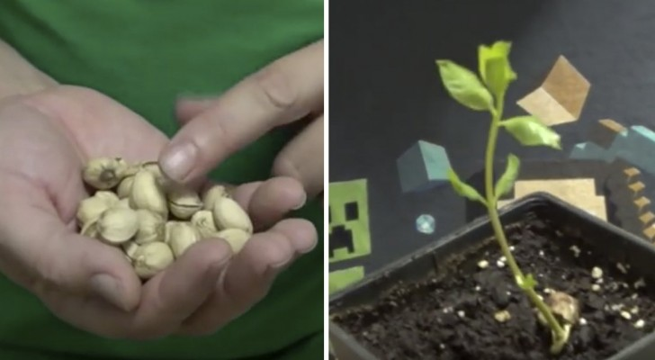 Ecco come far germogliare i pistacchi del supermercato per avere il proprio albero personale