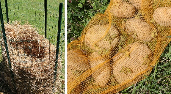 Discover this potato cultivating idea that gives impressive results!
