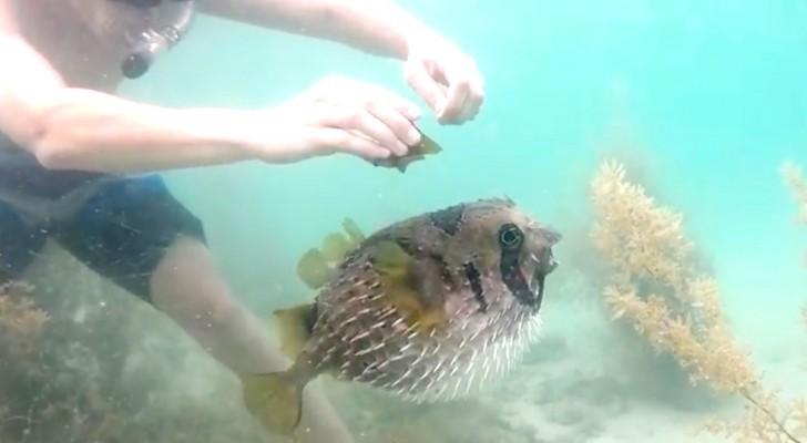 Il libère un poisson-globe coincé dans un filet. Mais attendez de voir qui assiste au sauvetage...