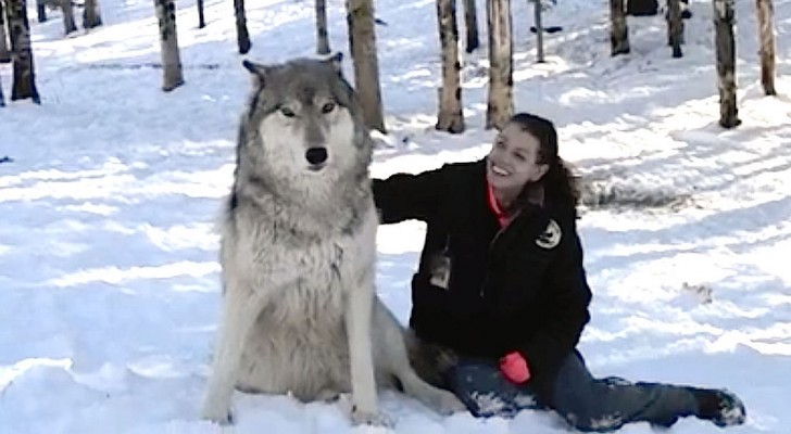 A giant wolf sits by her  side --- Look what happens as soon as she caresses him!
