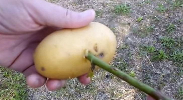 L'astuce la plus simple et la plus naturelle pour obtenir une plante de rose d'une branche