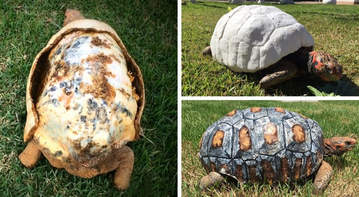 La tortuga ha perdido su caparazon durante un incendio, pero gracias a la tecnologia se crea lo imposible