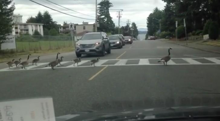 Un gruppo di oche attraversa la strada... ma il modo in cui lo fa è unico!
