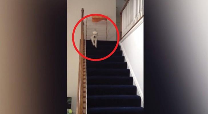 Dieser Welpe will die Treppe hinunter, aber wie er es macht ist einfach urkomisch!